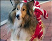 Williamstown MA holiday walk and Reindog parade