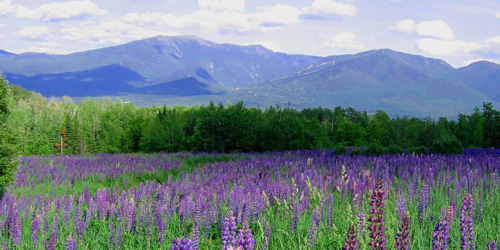 Field of Hyacinths - White Mountains, NH